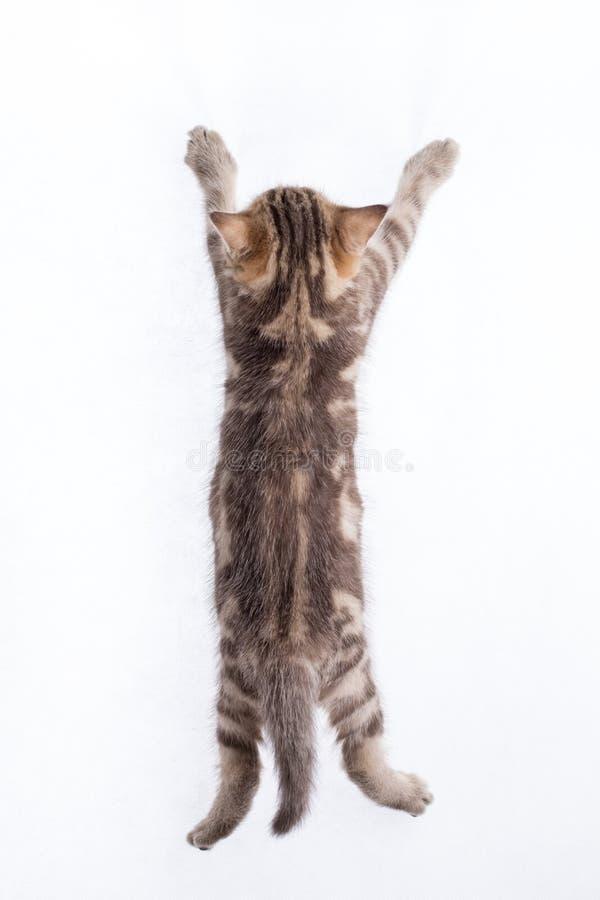 Vue arrière de chaton tigré drôle image libre de droits