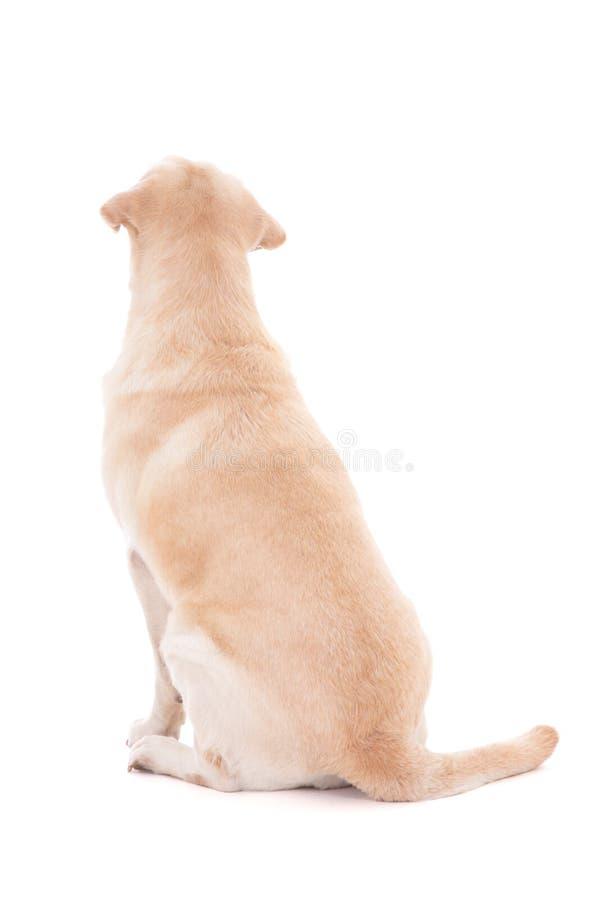 Vue arrière de chien se reposant d'isolement sur le blanc photographie stock