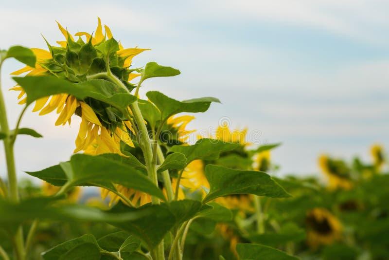 Vue arrière de des tournesols fleurissants Soirée d'août Fond naturel peu commun d'été sur différents sujets image stock