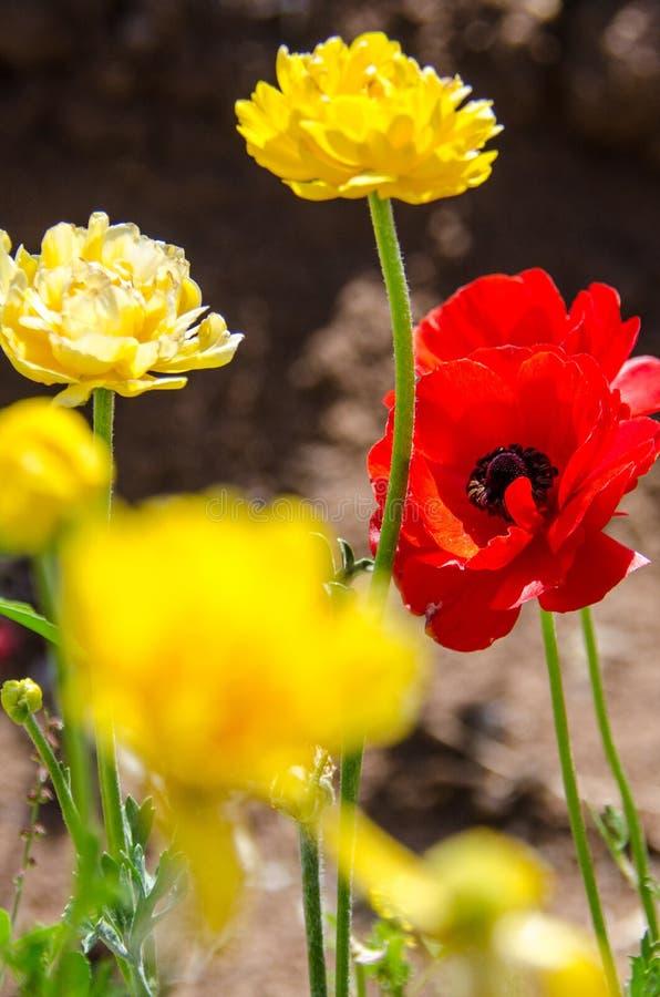Vue artistique d'une fleur géante rouge de Ranunculus contre un ciel bleu dans des couleurs rouges et jaunes photo libre de droits