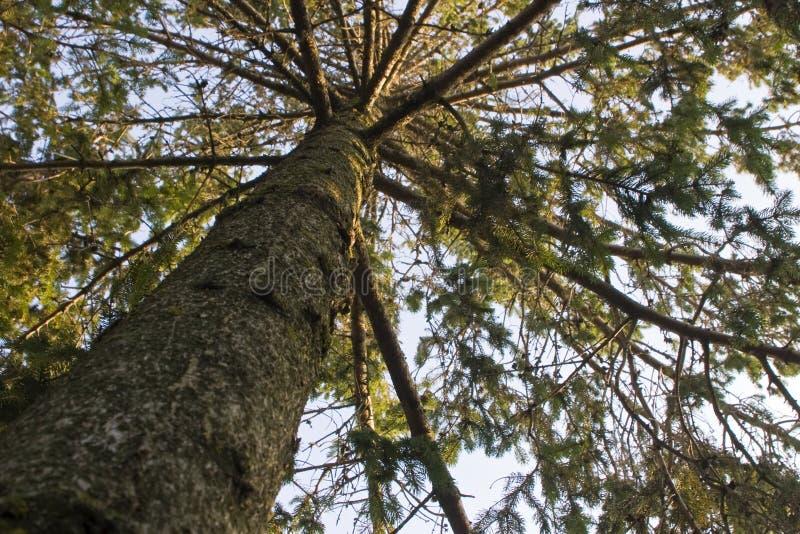 Vue ascendante d'arbre de pin images libres de droits
