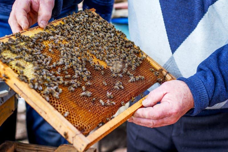 Vue avec des abeilles dans des mains d'un beekeeper_ expérimenté photos libres de droits