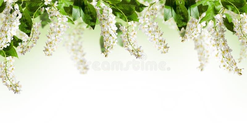Vue avec des fleurs d'arbre d'oiseau-cerise sur le blanc photographie stock libre de droits