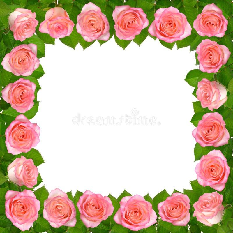 Vue avec les roses roses D'isolement sur le fond blanc photographie stock libre de droits