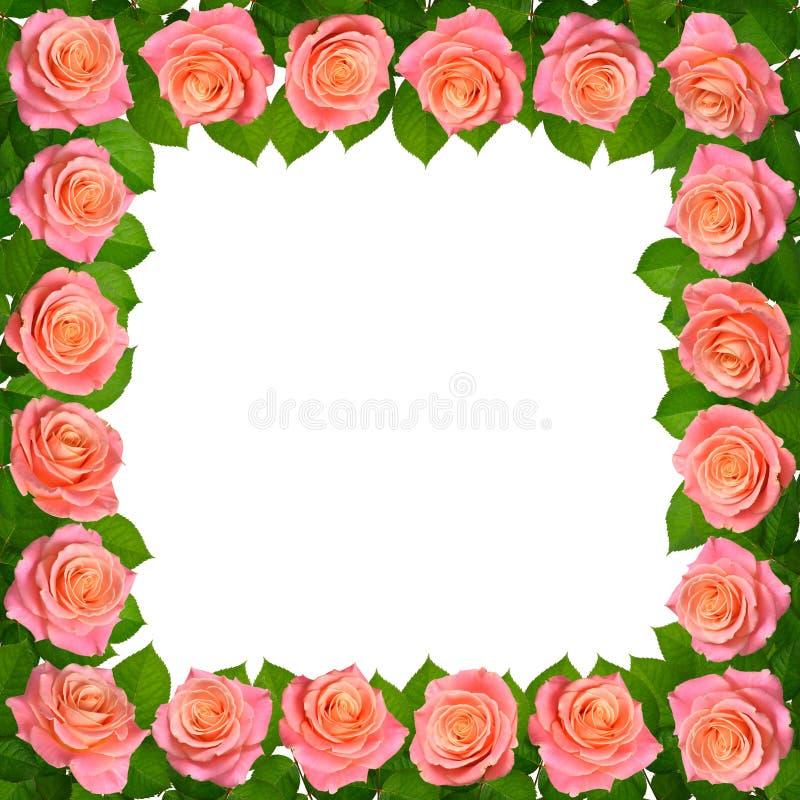 Vue avec les roses roses D'isolement sur le fond blanc images stock