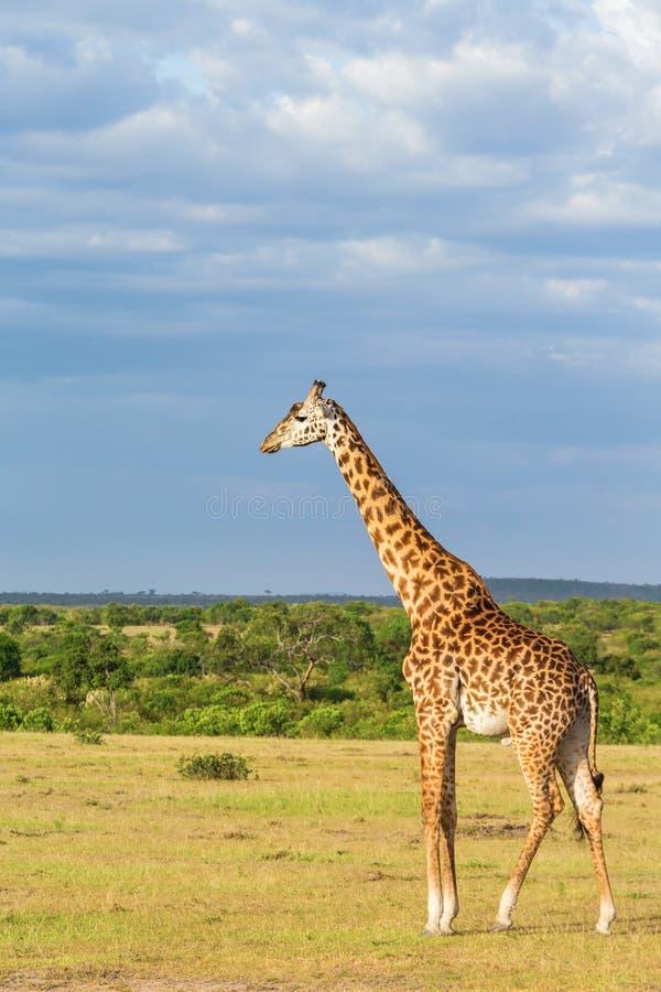 Vue avec une girafe photographie stock libre de droits