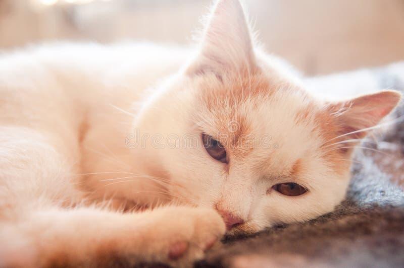 Vue belle somnolente pelucheuse blanc-rouge de chat photo libre de droits