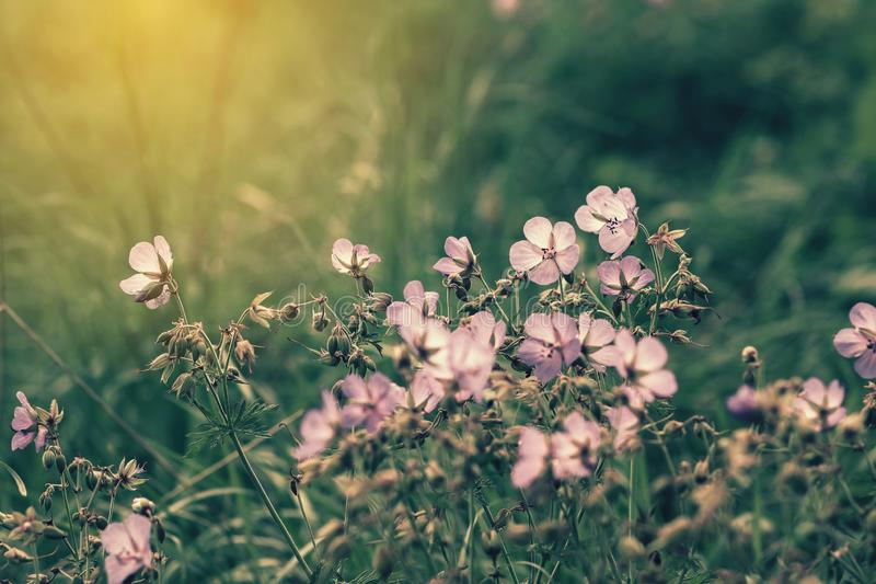 Vue cinématographique de petites fleurs pourpres de géranium sauvage cachées dans l'herbe verte photographie stock libre de droits