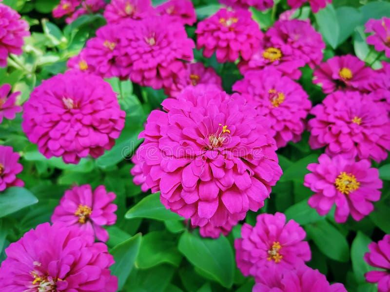Vue courbe de gisement de fleurs rose photos libres de droits