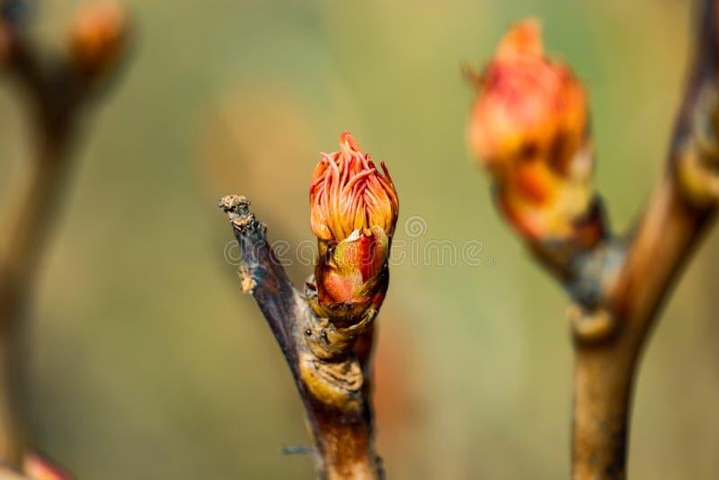Vue croissante rouge de bourgeons dans le jardin de Moscou image stock