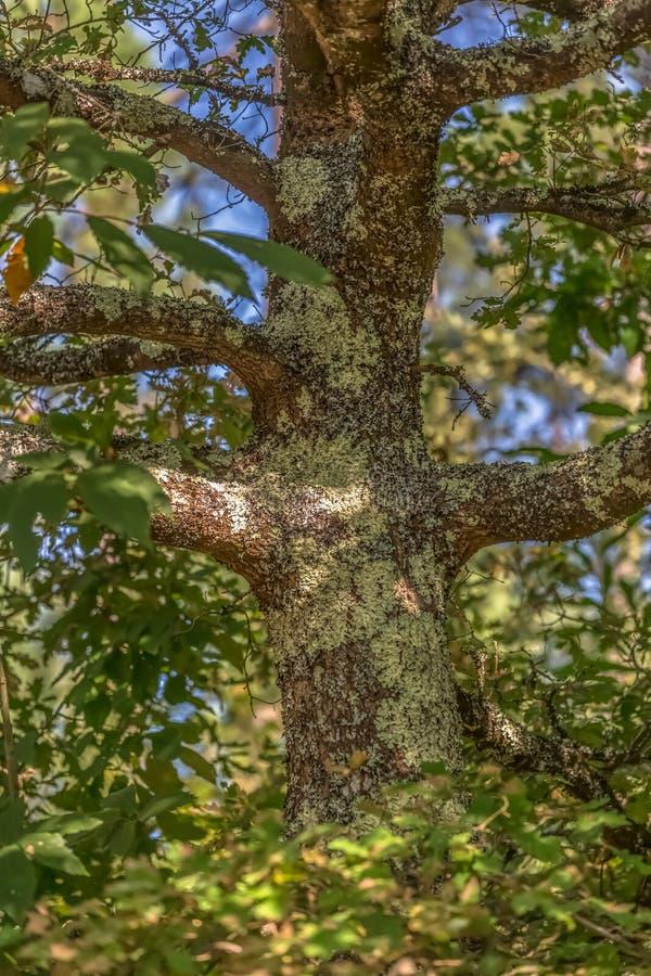 Vue détaillée de la partie centrale d'un chêne, une traction structurelle et des brindilles, une écorce texturisée avec de petits image stock
