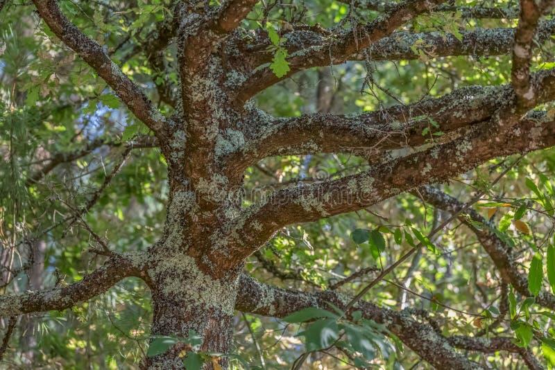 Vue détaillée de la partie centrale d'un chêne, une traction structurelle et des brindilles, une écorce texturisée avec de petits photo stock