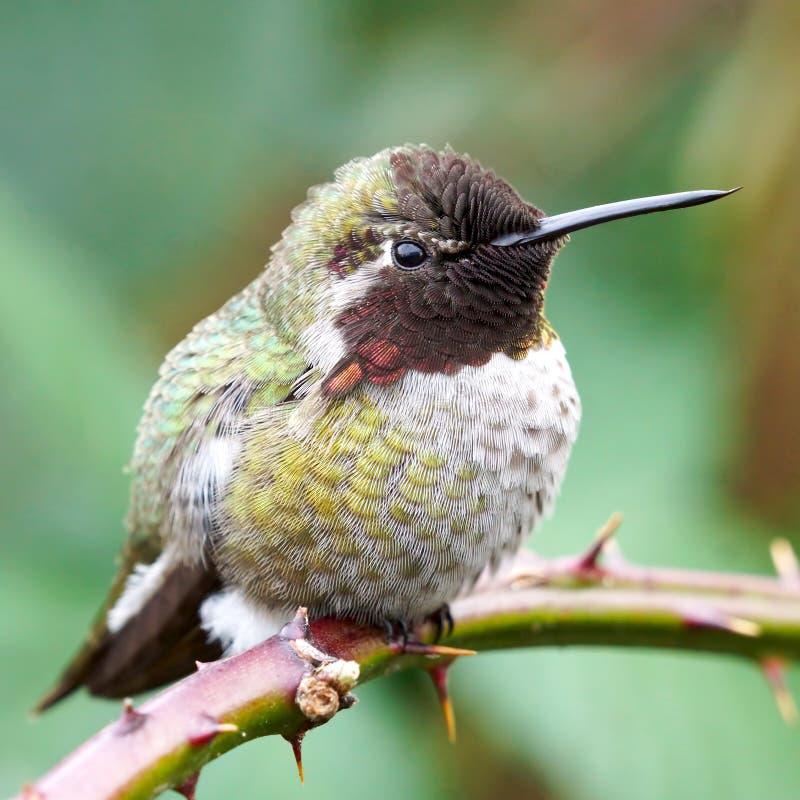 Vue détaillée des plumes d'un colibri d'Annas image libre de droits