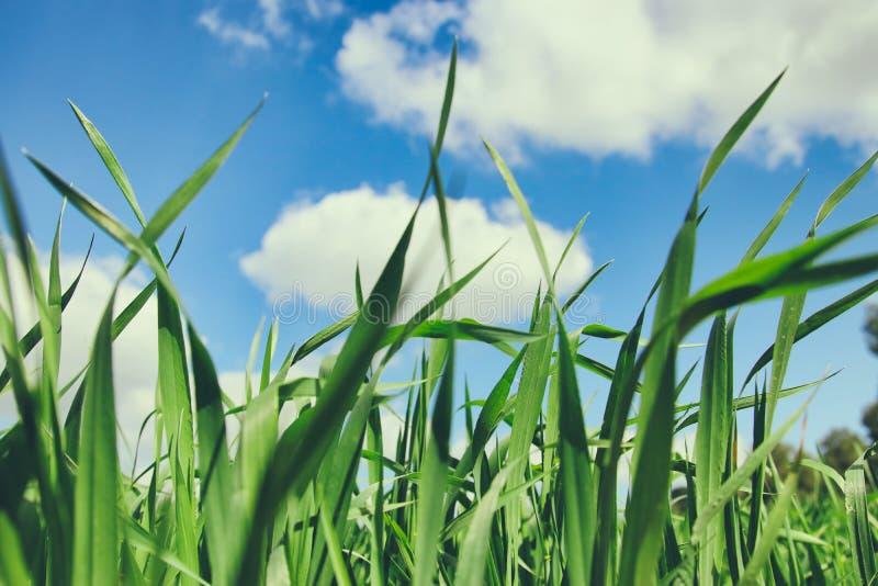 vue d'angle faible d'herbe fraîche contre le ciel bleu photo stock