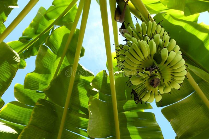 Vue d'angle faible de bananier photographie stock libre de droits