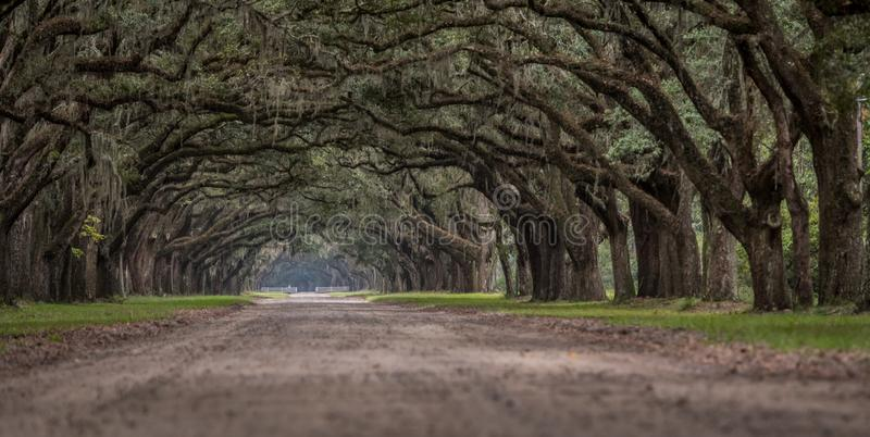 Vue d'angle faible de Live Oak Trees images stock