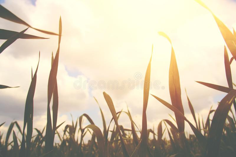 Vue d'angle faible d'herbe fraîche concept de liberté et de renouvellement photo libre de droits