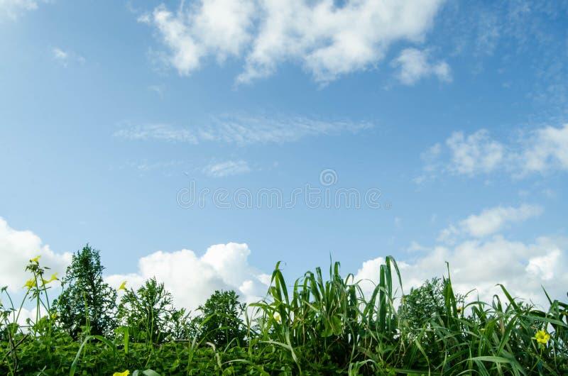 Vue d'angle faible d'herbe fraîche contre le ciel bleu avec des nuages images stock