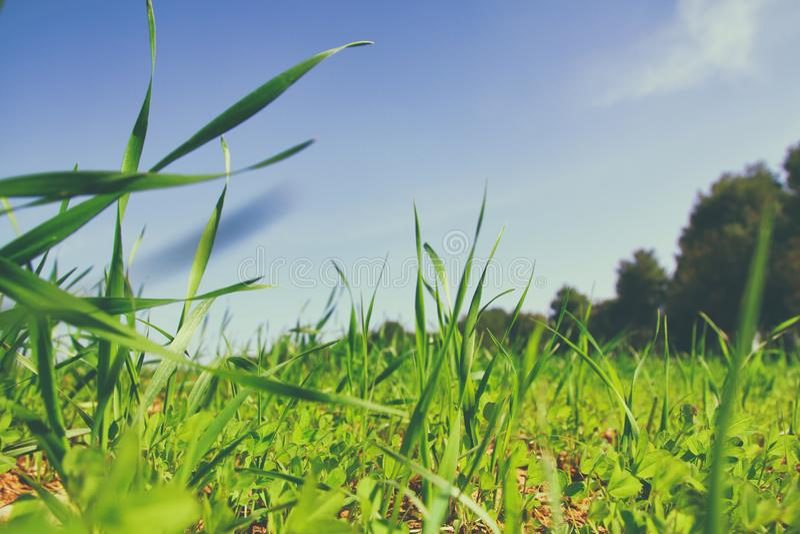 Vue d'angle faible d'herbe fraîche contre le ciel bleu avec des nuages concept de liberté et de renouvellement photos libres de droits
