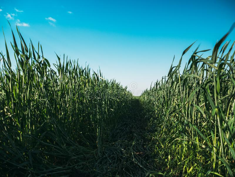 Vue d'angle faible d'herbe fraîche dans le domaine agricole contre le ciel bleu photos stock