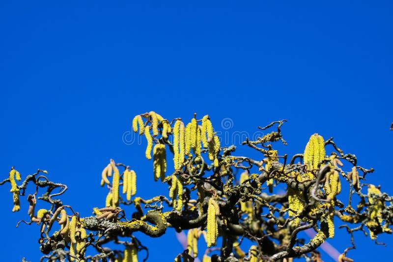 Vue d'angle faible sur les chatons jaunes sur les branches nues tordues couvertes de parietina orange de Xanthoria de lichen de v photo libre de droits