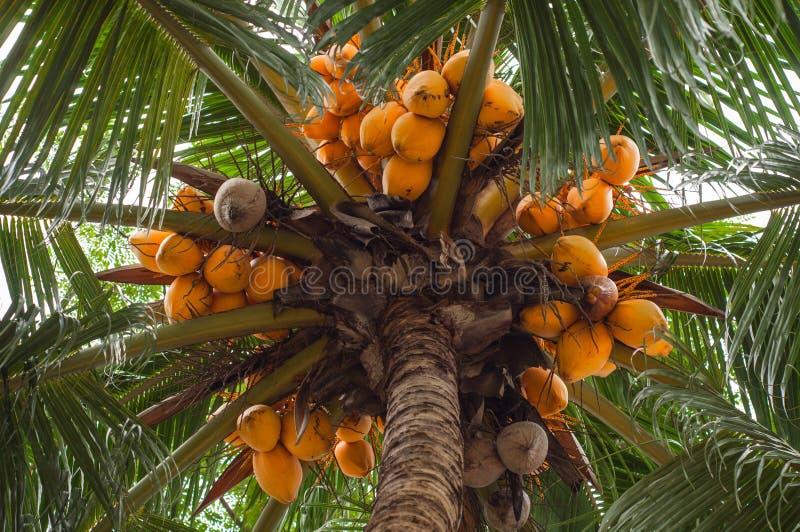 Vue d 39 arbre de noix de coco jaune m r du fond photo stock image du lames t 36313994 - Arbre noix de coco ...