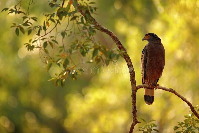 Vue d'art de nature Aigle crêté de serpent, cheela de Spilornis Aigle sri-lankais, été perché sur l'environnement de forêt de tro photographie stock