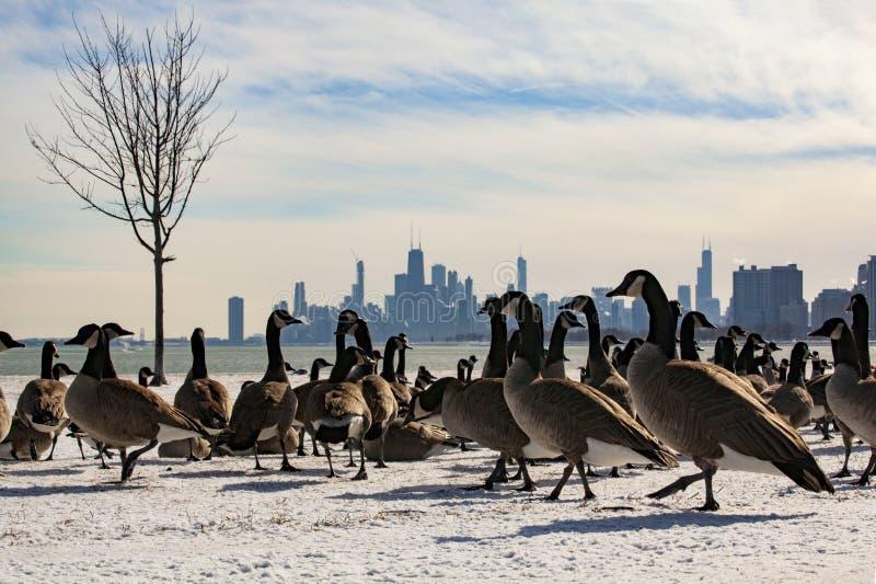 Vue d'horizon de Chicago avec des oies de Montrose Harbor photographie stock
