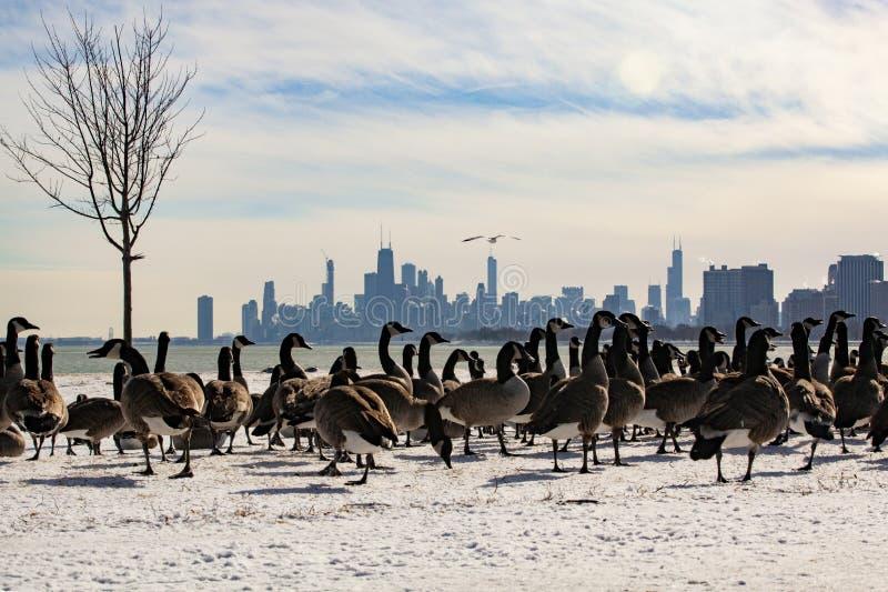 Vue d'horizon de Chicago avec des oies de Montrose Harbor photo libre de droits