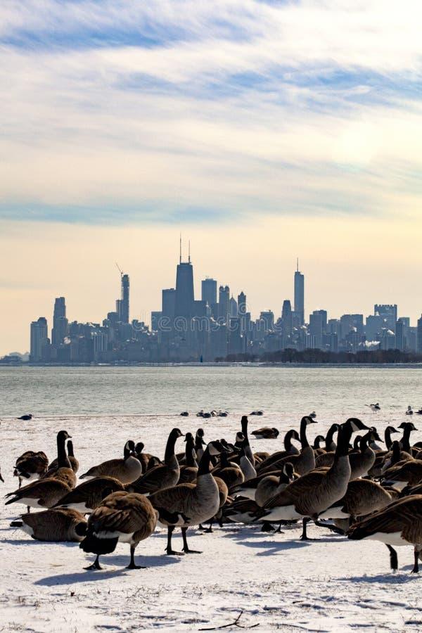 Vue d'horizon de Chicago avec des oies de Montrose Harbor image libre de droits