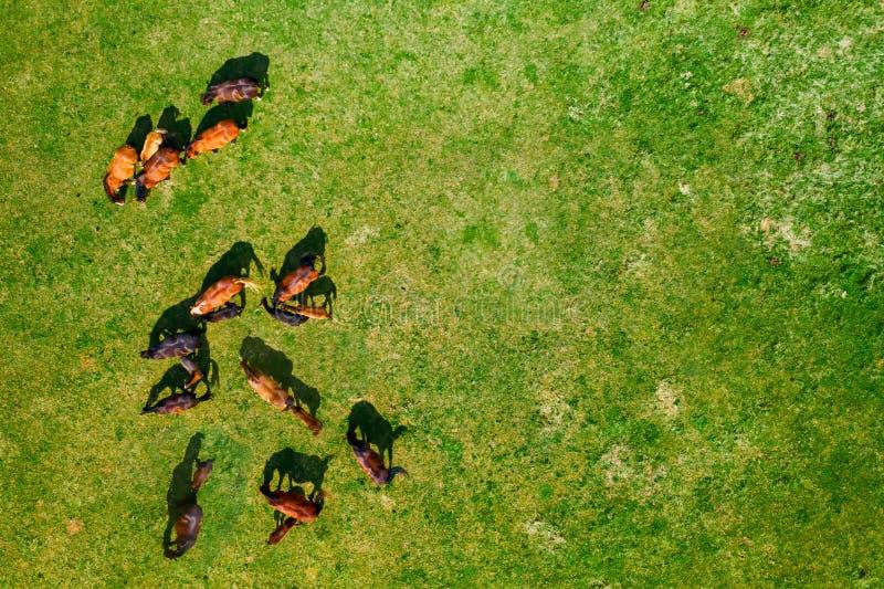 Vue d'oeil d'oiseaux des chevaux frôlant sur le pâturage images libres de droits