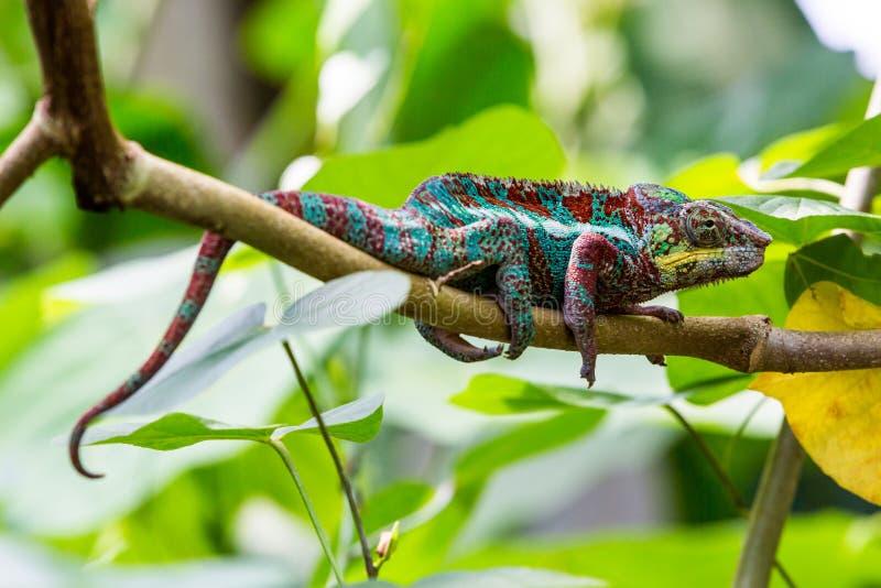 Vue d'un caméléon vert dans un zoo photos stock