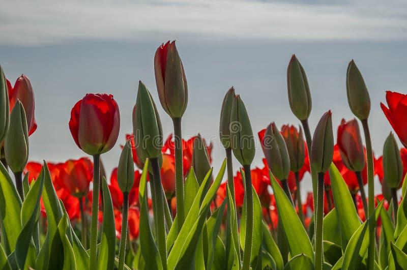 Vue d'un champ complètement des tulipes rouges dans le bourgeon, comme ils peuvent être vus chaque ressort dans le paysage néerla photo stock