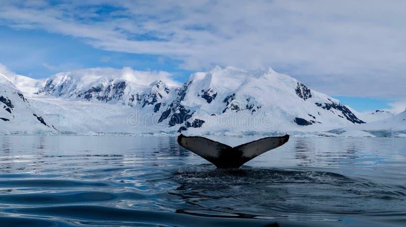 Vue d'un glacier en Antarctique, avec une magnifique queue de baleine au premier plan photos libres de droits