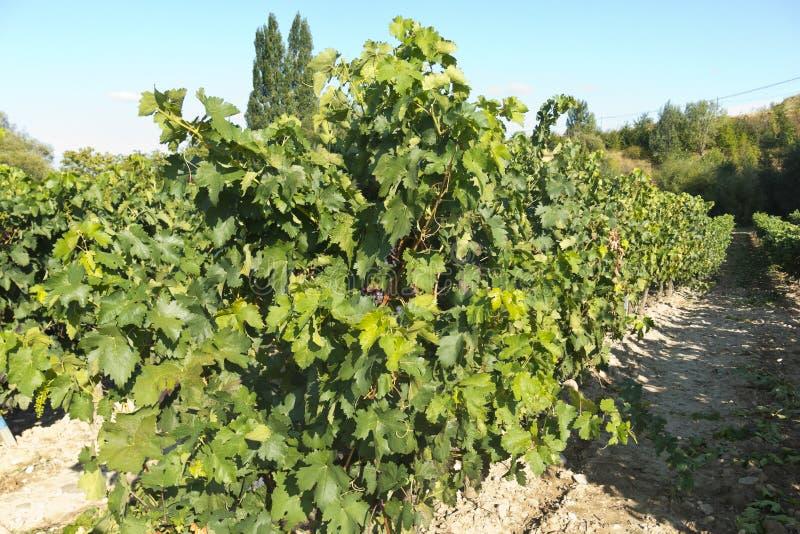 Vue d'un wineyard dans La Rioja, Espagne Industrie vinicole photos stock
