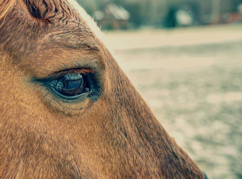 Vue dans l'oeil brun du cheval de couleur brune photo stock