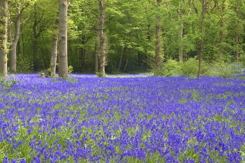 Vue de Bluebell image libre de droits