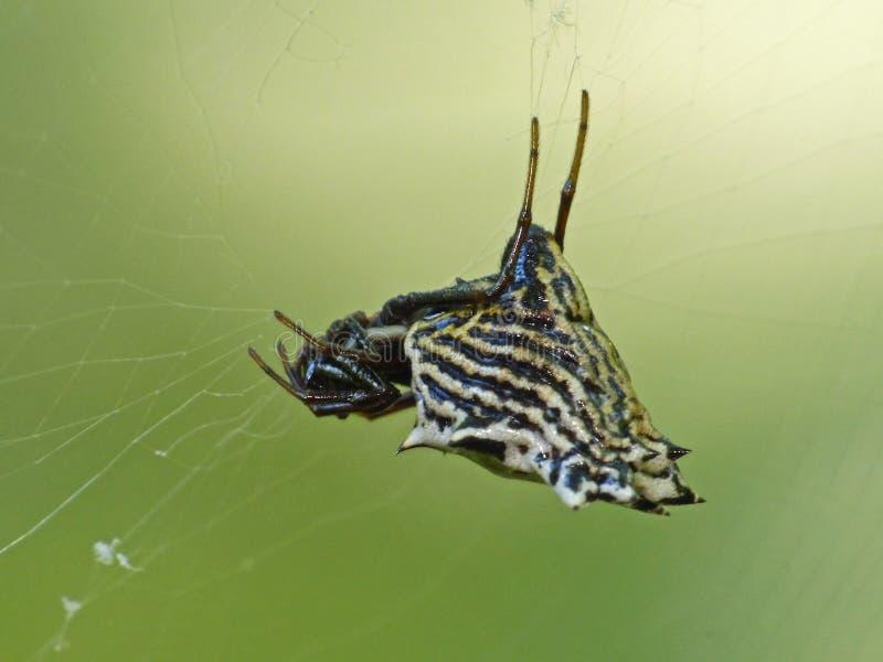 Vue de côté d'araignée noire et blanche de couronne images stock