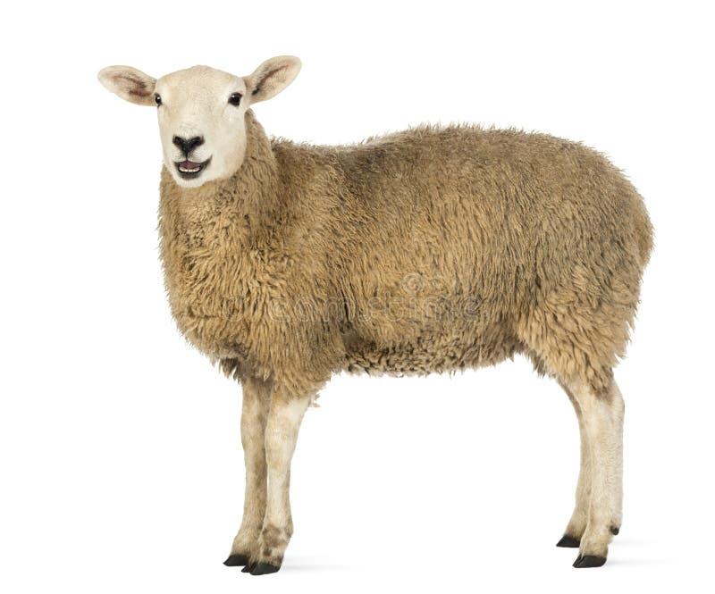 Vue de côté d'un mouton regardant l'appareil-photo image stock