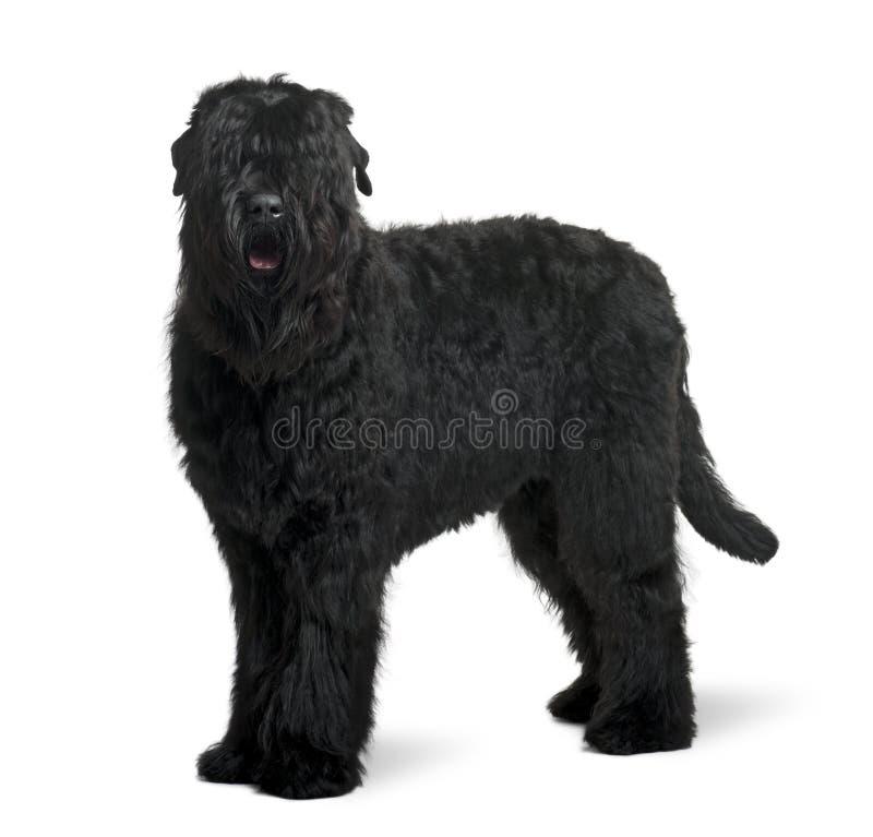 Vue de côté de chien terrier russe noir, restant images stock