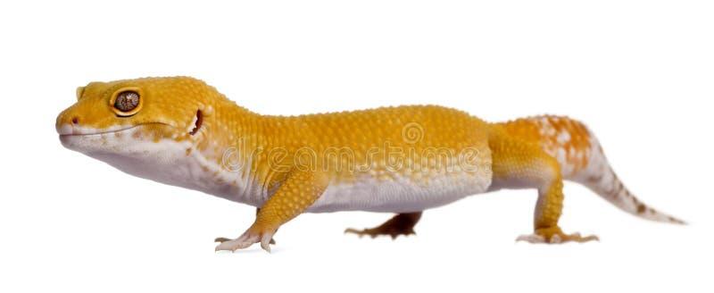 Vue de côté de gecko de léopard, marchant images stock