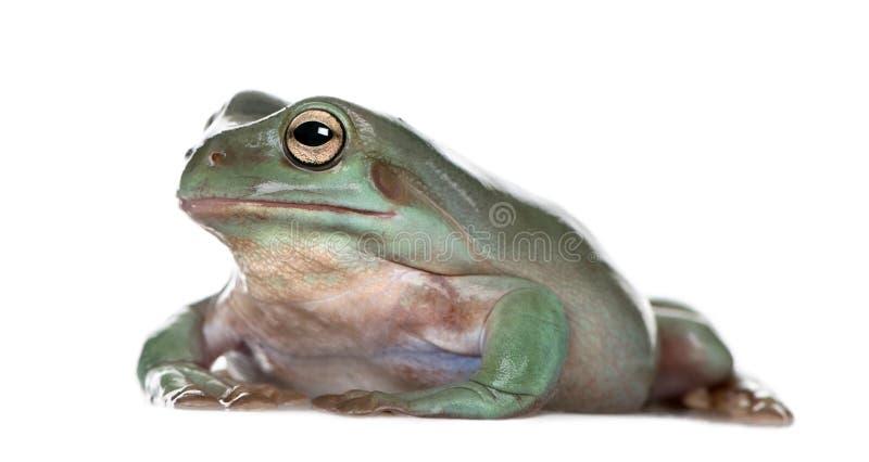 Vue de côté de grenouille d'arbre verte australienne photo libre de droits