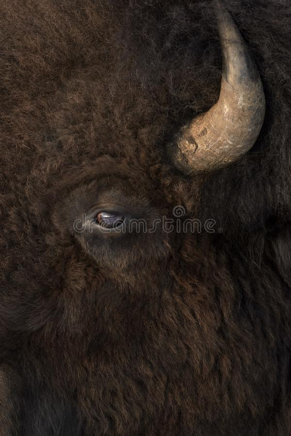 Vue de côté en gros plan de bison américain dans l'hiver image stock