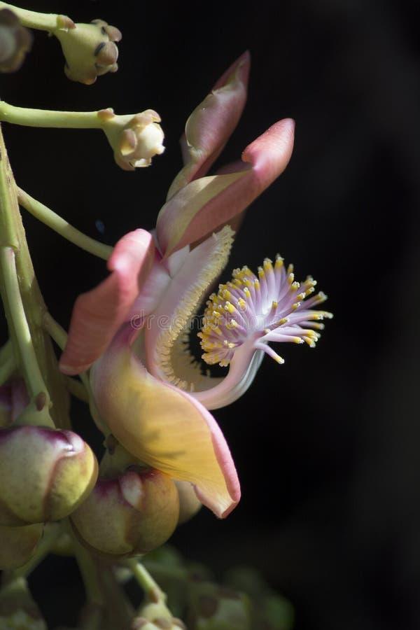 Vue de côté de guianensis de Couroupita de fleur d'arbre de boulet de canon avec des Stamens et des bourgeons photographie stock libre de droits