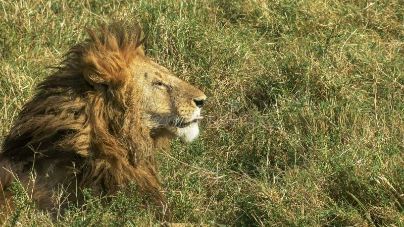 Vue de côté haute étroite d'un lion masculin dans le masai Mara, Kenya image libre de droits