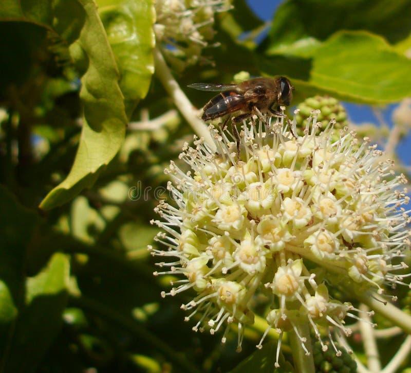 Vue de côté de Hoverfly Eristalis Tenax sur la fleur de Fatsia images stock