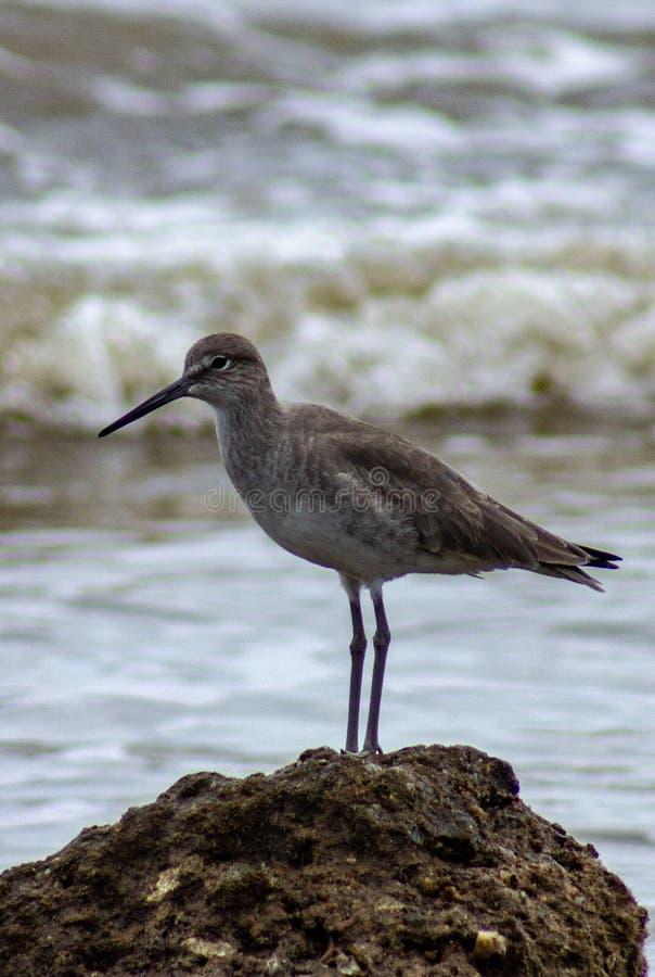 Vue de côté de l'oiseau marin se tenant sur une roche avec des vagues rodage le fond image stock