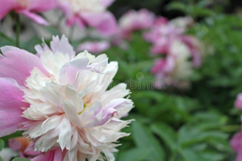 Vue de côté de la fleur rose blanche dans le jardin de la Chine photos stock