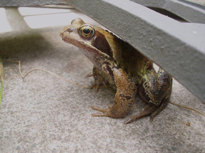 Vue de côté de la grenouille commune européenne se reposant sous un support de parapluie de jardin photos stock
