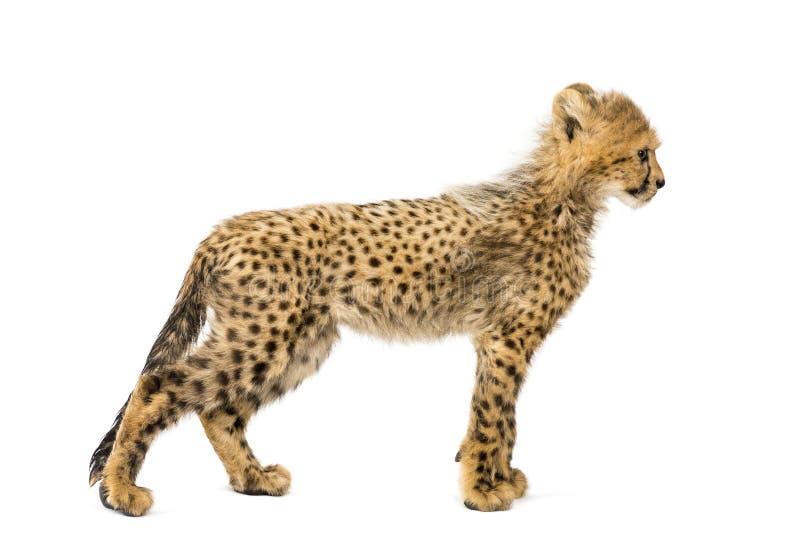 Vue de côté de trois mois de guépard de position de petit animal, d'isolement images libres de droits